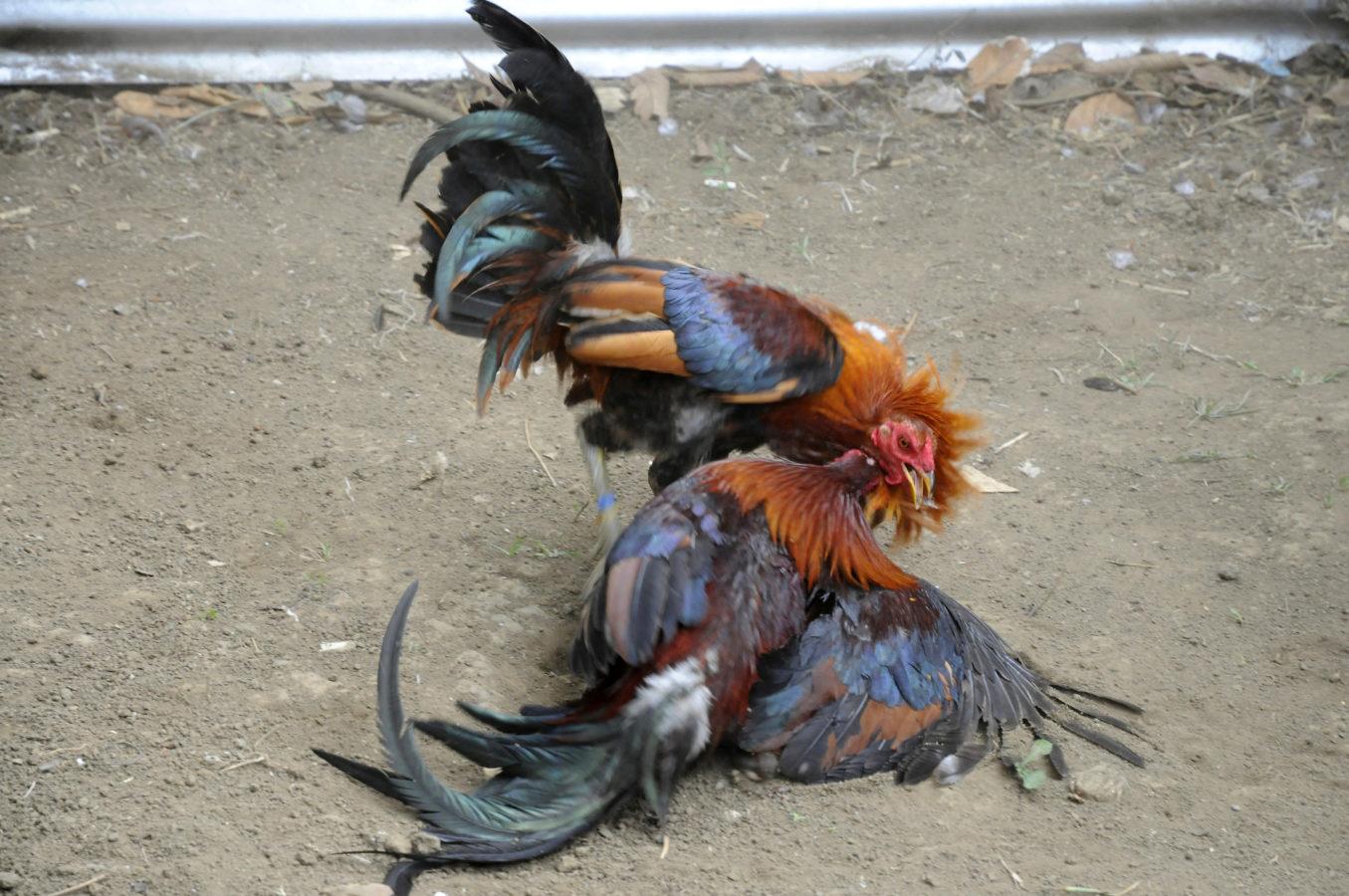 Trik Menang Dalam Judi Sabung Ayam Online