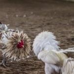 Langkah-Langkah Bermain Judi Sabung Ayam Online