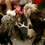 Cara Daftar S128 Di Situs Judi Sabung Ayam Online